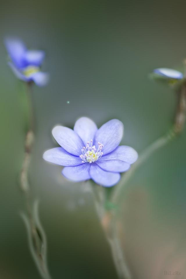 Frühlings-Krokus2_DSC7601