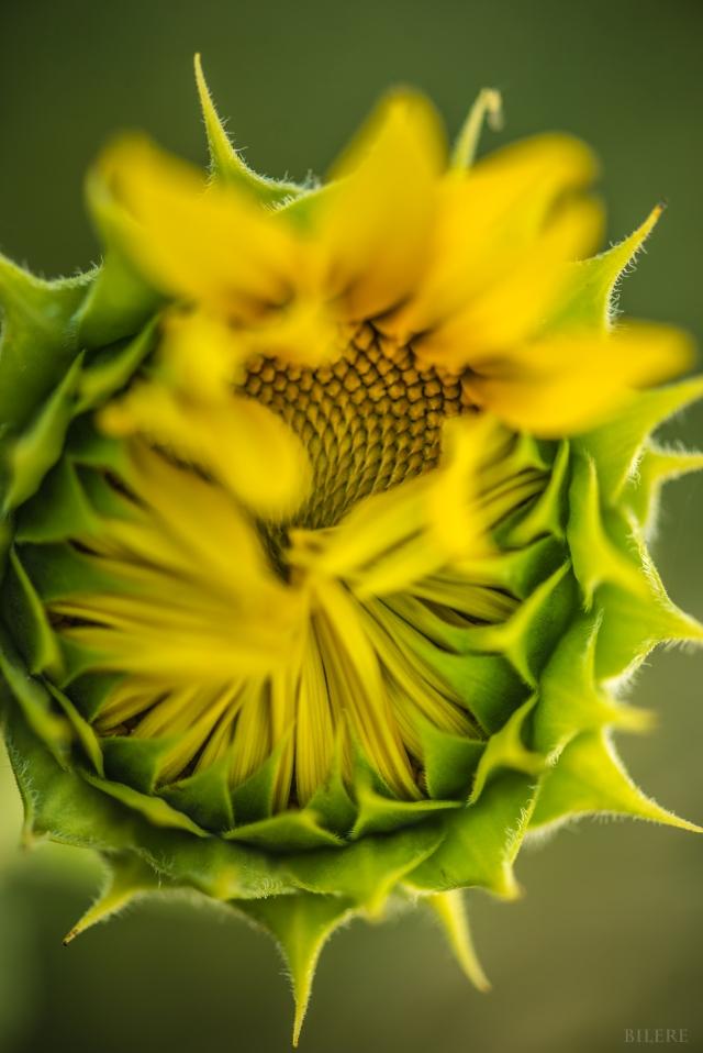 Sonnenblume_DSC9690