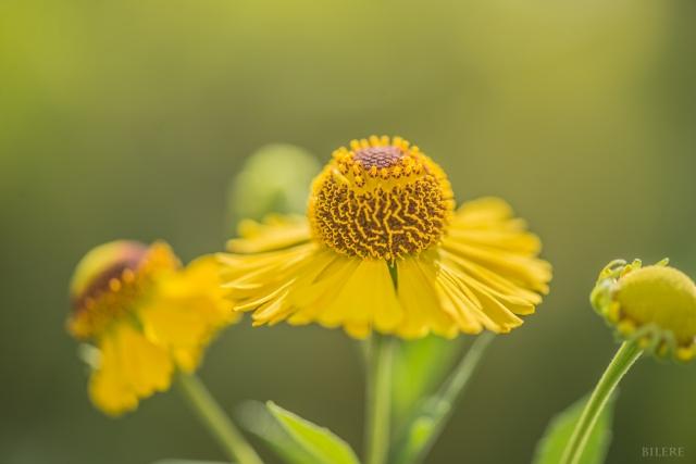 gelbe Blume_DSC0029