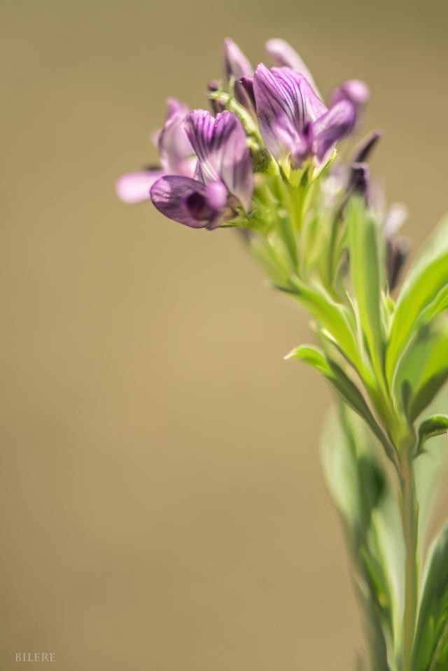 violete Blume_DSC9994