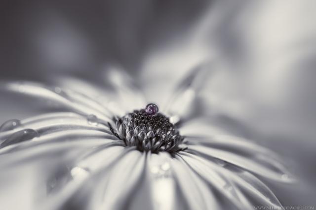 Gartenblume-SW-violett_DSC2085