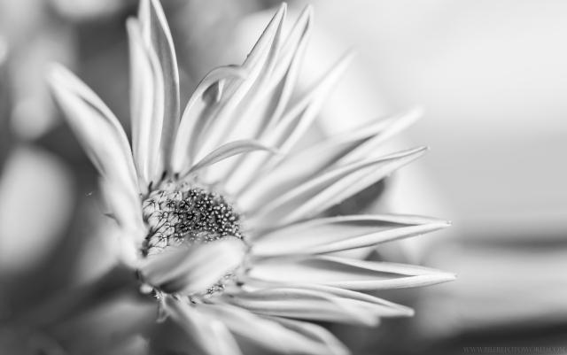 Gartenblume-SW_DSC2078