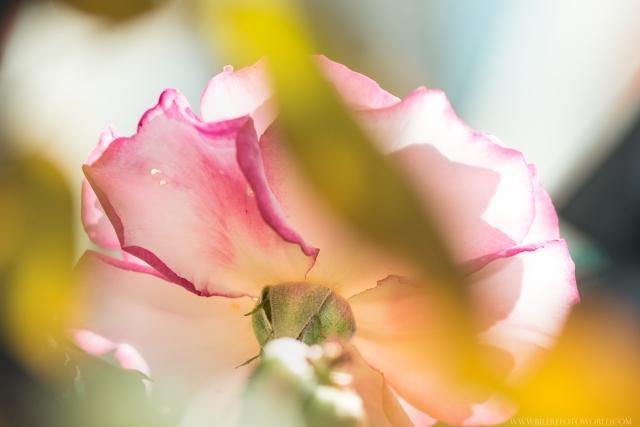 Rose_DSC2280