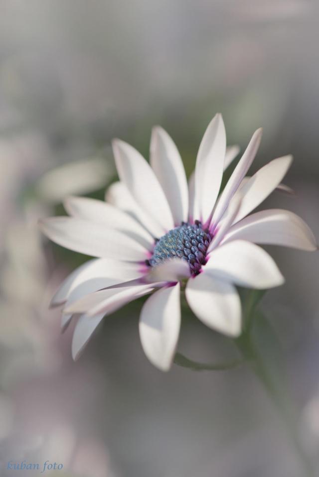 Weiße Margerite_DSC1597